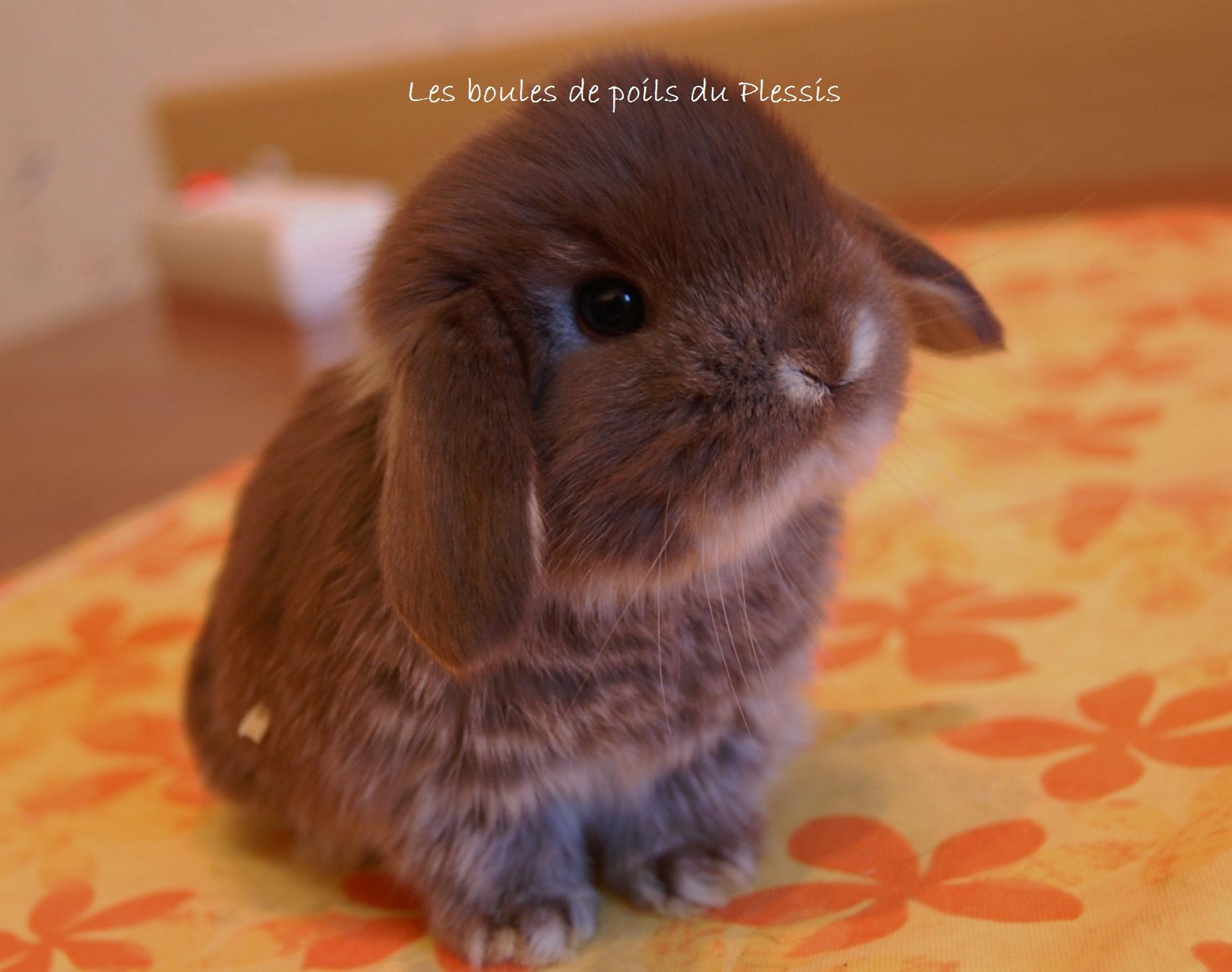 Lapin b lier nain les boules de poils du plessis 4 - Photo de lapin mignon ...