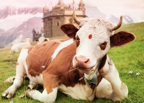 le fabuleux destin d 39 une vache qui ne voulait pas. Black Bedroom Furniture Sets. Home Design Ideas